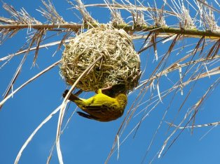 yellow-weaver-bird-2212677__340