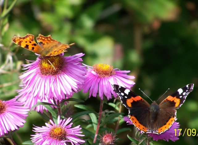 Butterflies on Aster
